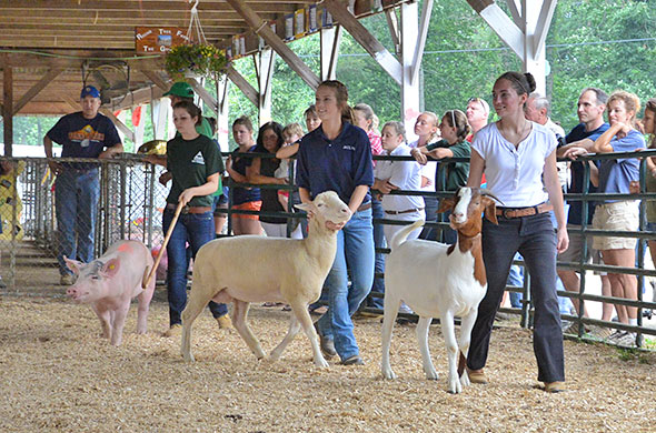 4-H'ers showing a pig and two goats.